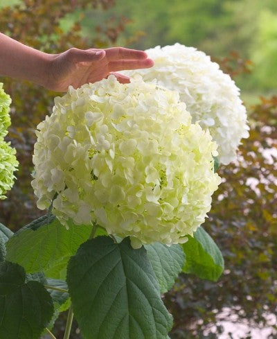 Hydrangea Incrediball photo courtesy of Bailey nurseries