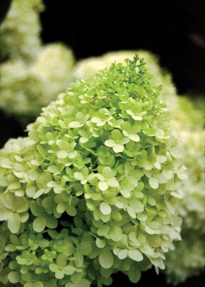 Hydrangea Limelight photo courtesy of Bailey Nurseries
