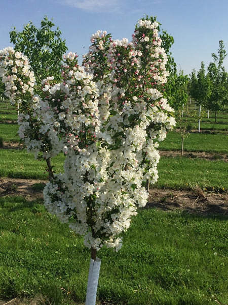 Crabapple-Adirondack white flowers in spring