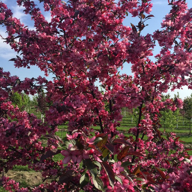 Crabapple-Gladiator For Sale Shop Stuart's