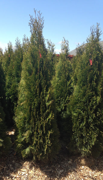 Emerald green arborvitae For Sale | Shop Stuart's