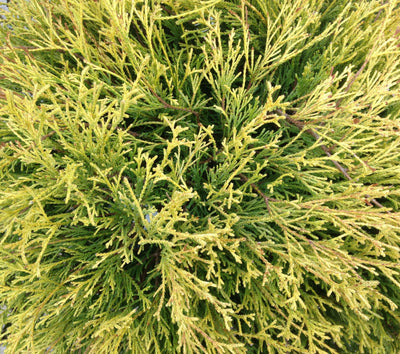Cypress golden mops foliage