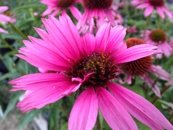 Echinacea-Coneflower 'Kim's Knee High', 1 gallon