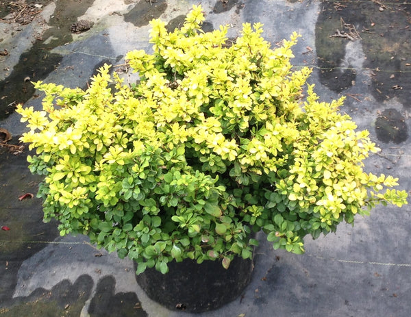 Barberry Golden Nugget, Shop Stuart's