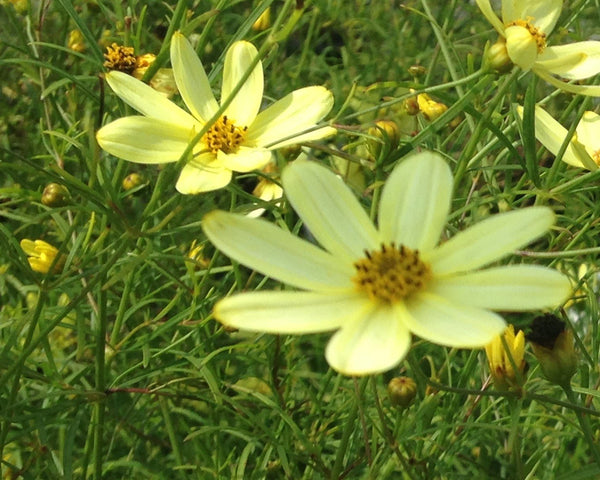Coreopsis verticillata 'Moonbeam' For Sale | Shop Stuart's