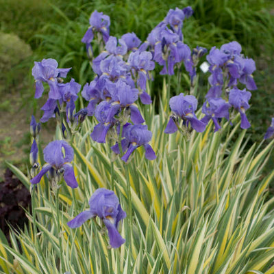 Iris Pallida Variegata Photo courtesy of Walters Gardens