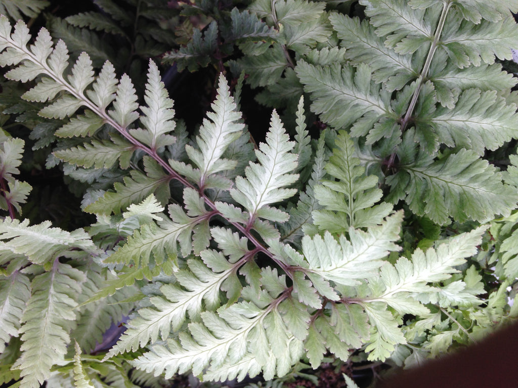 Fern-Japanese Painted