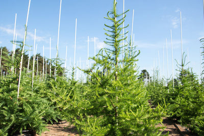 Larch Photo courtesy of Bailey Nurseries