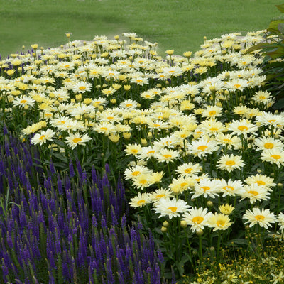 Leucanthemum-Shasta daisy 'Banana Cream',1 gallon