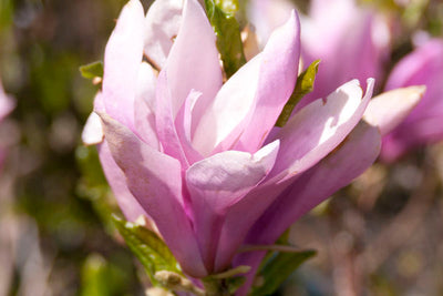 Magnolia Leonard Messel Photo courtesy of Bailey Nurseries