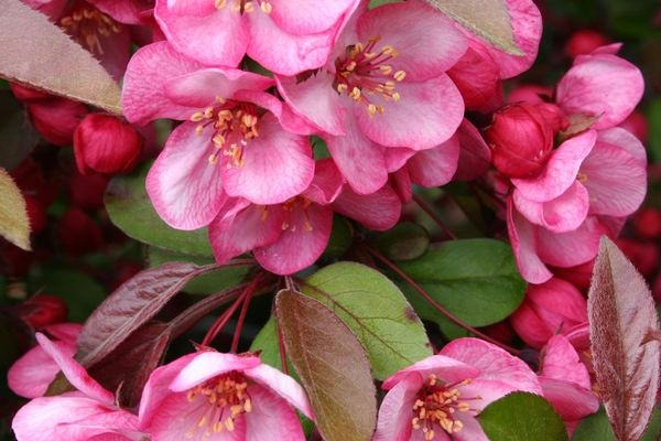 Candymint Crabapple For Sale | Shop Stuart's-Photo courtesy of Bailey Nursery