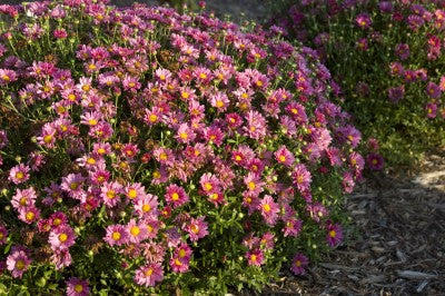 Mammoth 'Lavender' Daisy Photo courtesy of Bailey Nurseries
