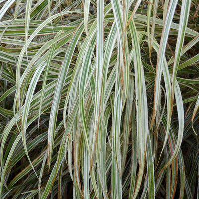 Miscanthus sinensis 'Dixieland' Photo courtesy of Walters Gardens