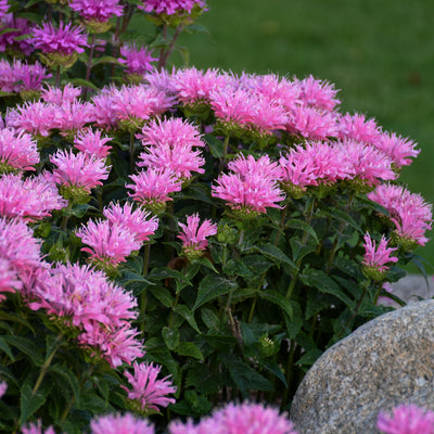 Monarda Pink Frosting Photo courtesy of Walters Gardens