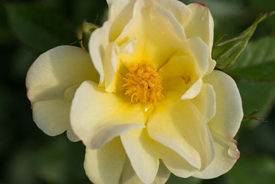 Rose Oscar Robertson Photo courtesy of Bailey Nurseries