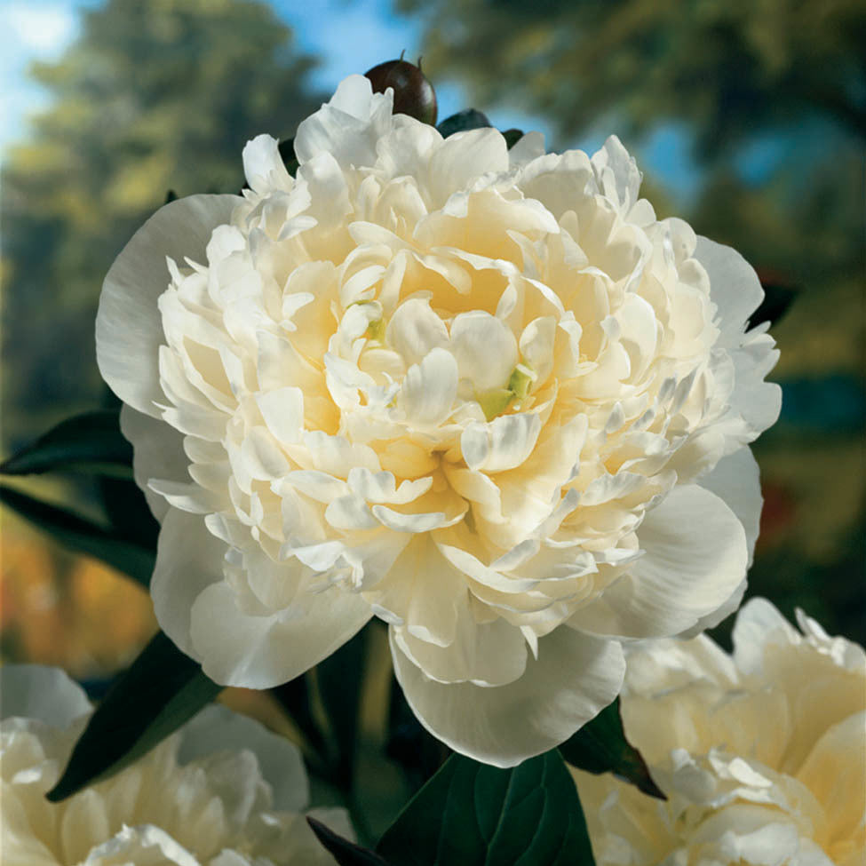 Paeonia Duchesse de Nemours Photo courtesy of Walters Gardens