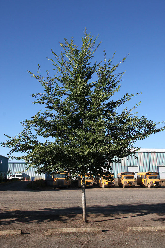 Patriot Elm, Photo courtesy and credit of J. Frank Schmidt & Son Co.