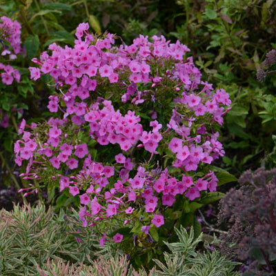 Phlox Flame Pink Photo courtesy of Walters Gardens