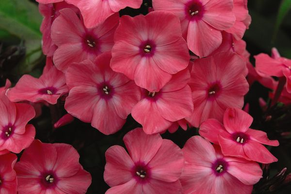 Phlox Coral creme drop Photo courtesy of Walters Gardens Inc.