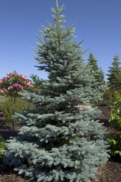 Fat Albert Spruce Photo courtesy of Bailey Nurseries