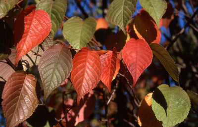 Pink Flair cherry fall foliage ,Photo courtesy and credit of J. Frank Schmidt & Son Co.