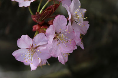 Cherry Pink Flair cherry spring flowers ,Photo courtesy and credit of J. Frank Schmidt & Son Co.
