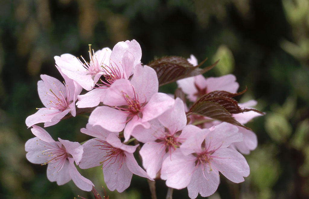 Pink Flair cherry spring flowers ,Photo courtesy and credit of J. Frank Schmidt & Son Co.