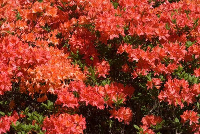 Azalea Mandarin Lights Photo courtesy of Bailey Nurseries