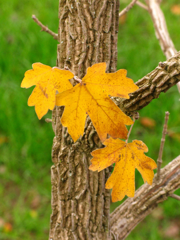 Rugged Ridge Maple fall foliage, photo courtesy and credit of J. Frank Schmidt & Son Co.