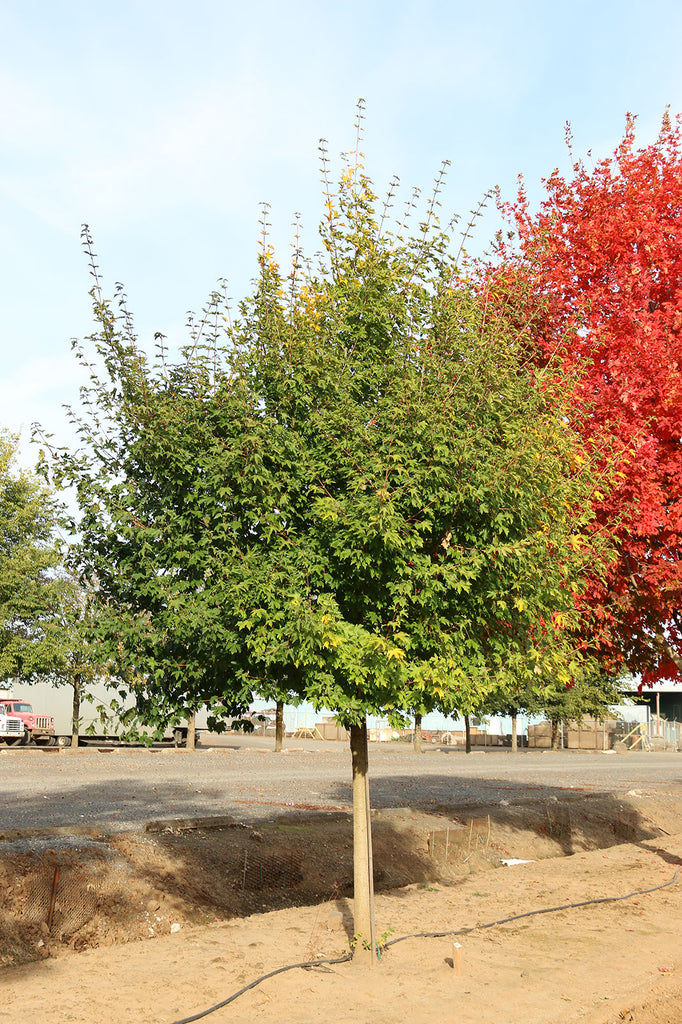 Rugged Ridge Maple summer foliage, photo courtesy and credit of J. Frank Schmidt & Son Co.