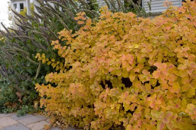 Spirea Birchleaf fall gold color Photo courtesy of Bailey Nurseries