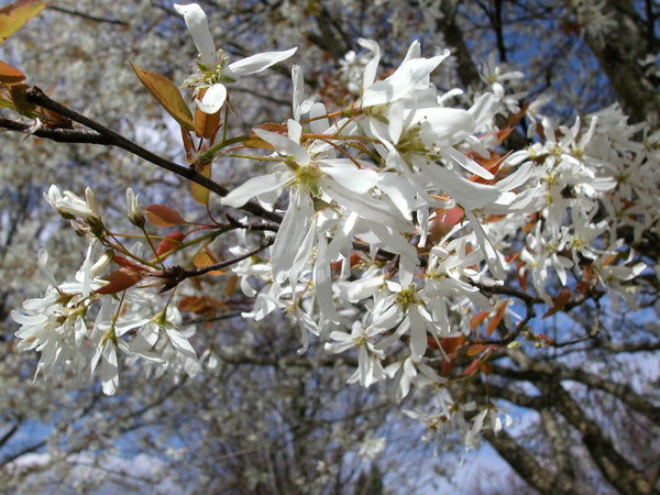 Serviceberry Spring Flurry spring flowers photo courtesy and credit of J. Frank Schmidt & Son Co.