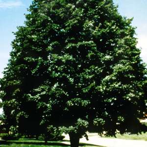 Sterling Silver Linden Photo courtesy of Bailey Nurseries