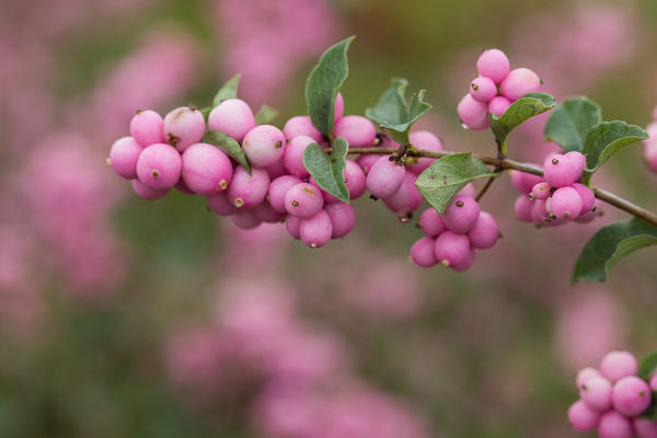 Coralberry 'Candy', Photo courtesy of Bailey Nurseries