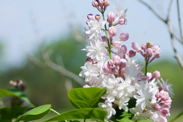 Beauty of Moscow Lilac Photo courtesy of Bailey Nurseries
