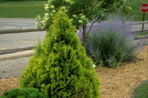 Sunkist arborvitae For Sale | Shop Stuart's-Photo courtesy of Bailey Nursery