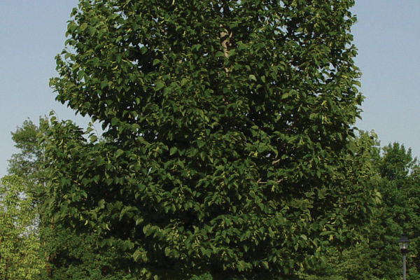 American Sentry Linden For Sale | Shop Stuart's -Photo courtesy of Bailey Nursery