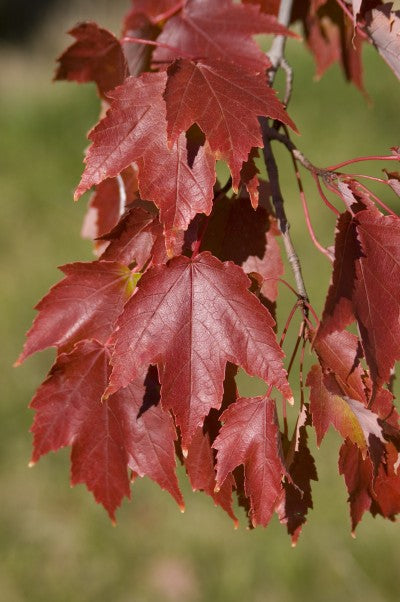 Maple Autumn Radiance Photo courtesy of Bailey Nurseries