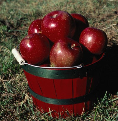 Apple Haralred, Photo courtesy Bailey Nurseries, Inc