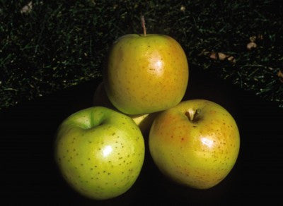 Apple Honeygold Photo courtesy Bailey Nurseries, Inc