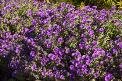 Aster Purple Dome Photo courtesy Bailey Nurseries, Inc