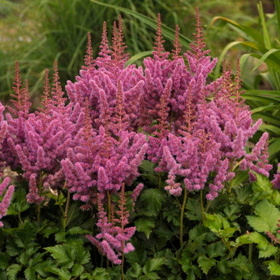 Astilbe 'Visions', 1 gallon