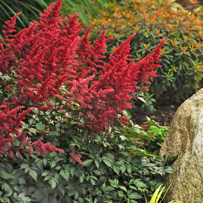 Astilbe x arendsii 'Fanal' Photo courtesy of Walters Gardens, Inc.
