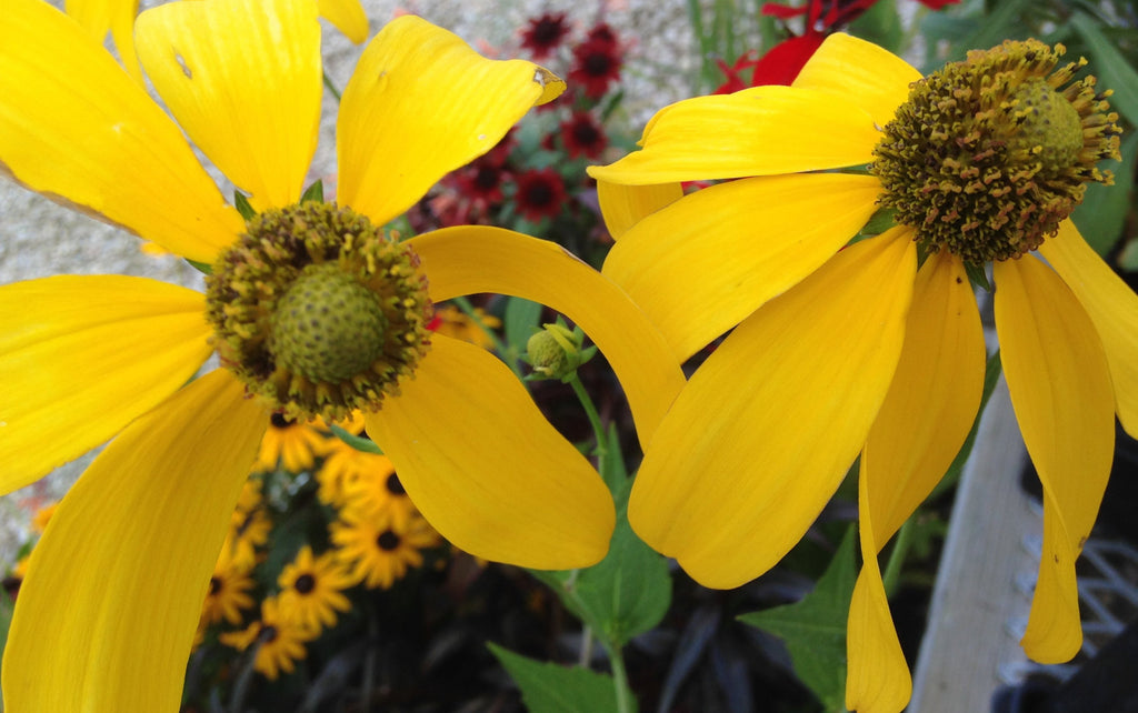 Rudbeckia Autumn Sun For Sale | Shop Stuart's