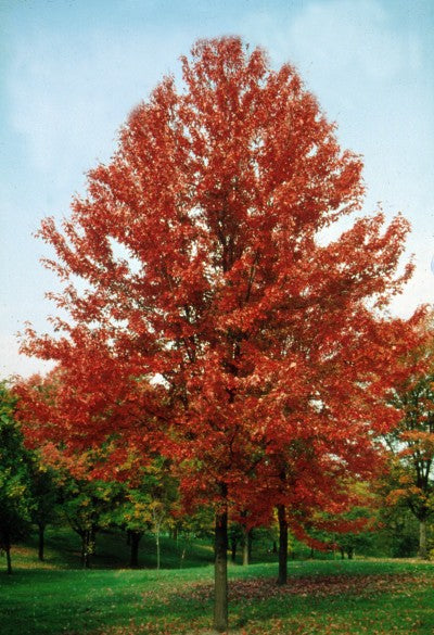 autumn blaze maple red leaves photo courtesy of Bailey Nurseries