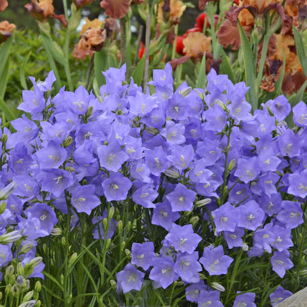 bellflower-Takion Blue Photo courtesy of Walters Gardens, Inc.
