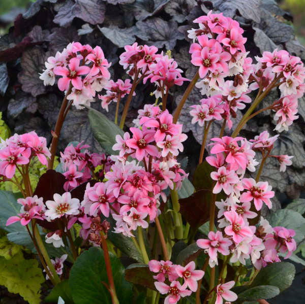 Bergenia 'Sakura' photo courtesy of Walter's gardens