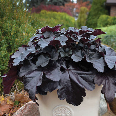Heuchera-Coral bells 'Black Pearl',1 gallon