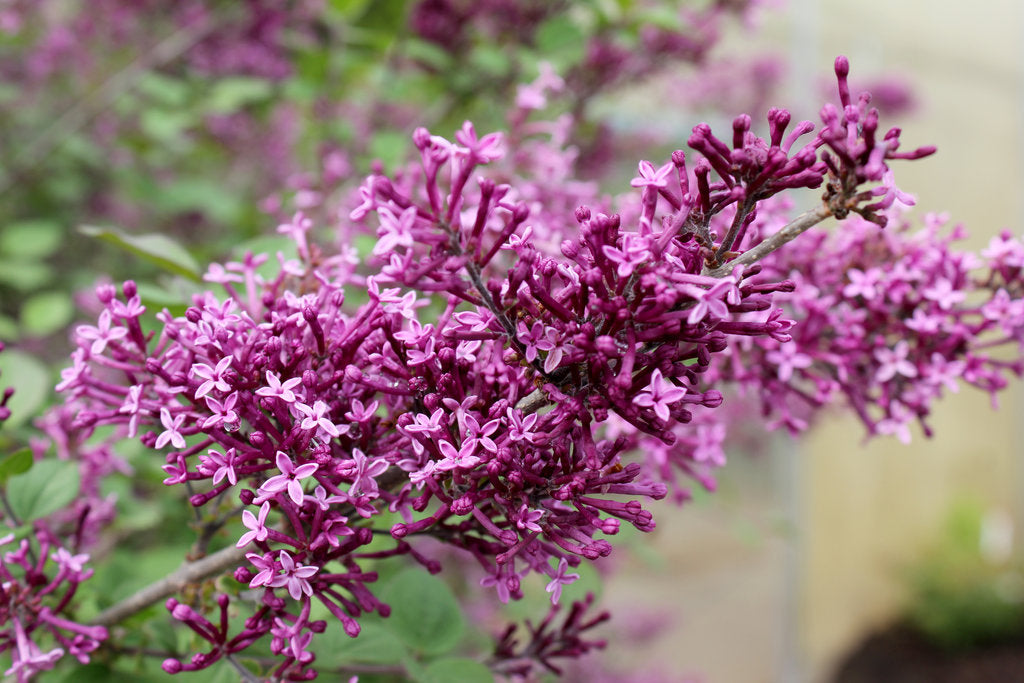 Bloomerang Lilac Photo courtesy of Proven Winners - www.provenwinners.com