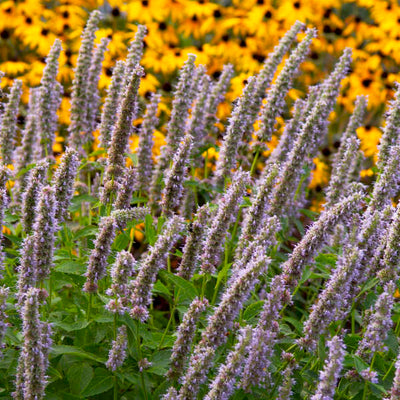 agastache-blue fortune Photo courtesy of Walters Gardens, Inc.